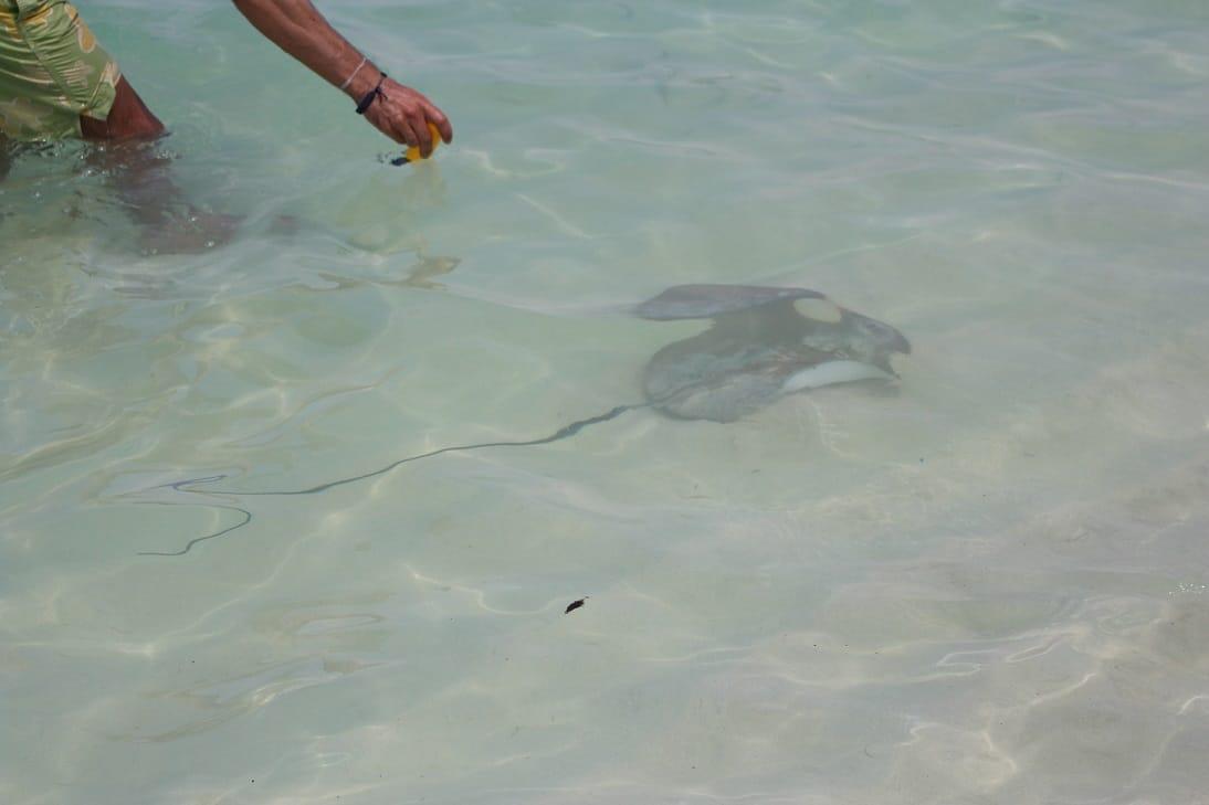 Uma raia na água da praia (Ilha de Ukulhas)