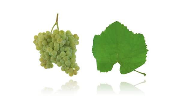 Casta Alvarinho (Fonte: Wines of Portugal)