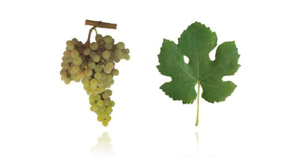 Casta Arinto (Fonte: Wines of Portugal)