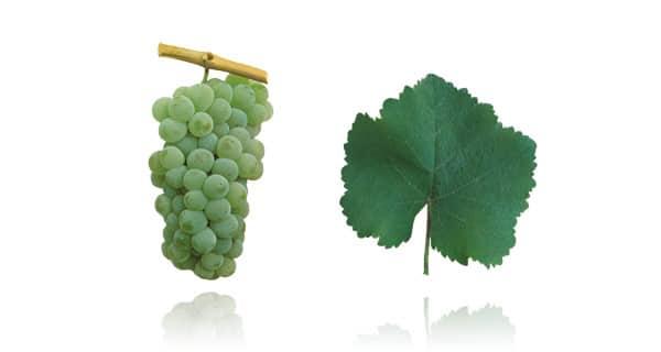 Casta Encruzado (Fonte: Wines of Portugal)