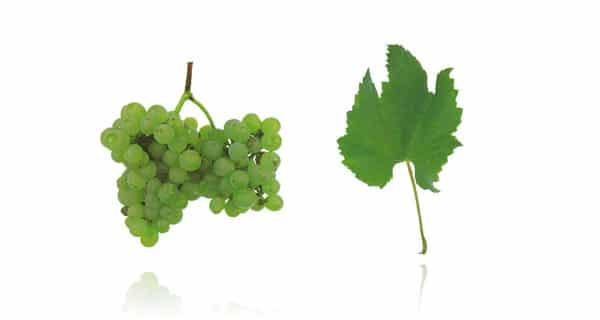 Casta Fernão Pires (Fonte: Wines of Portugal)