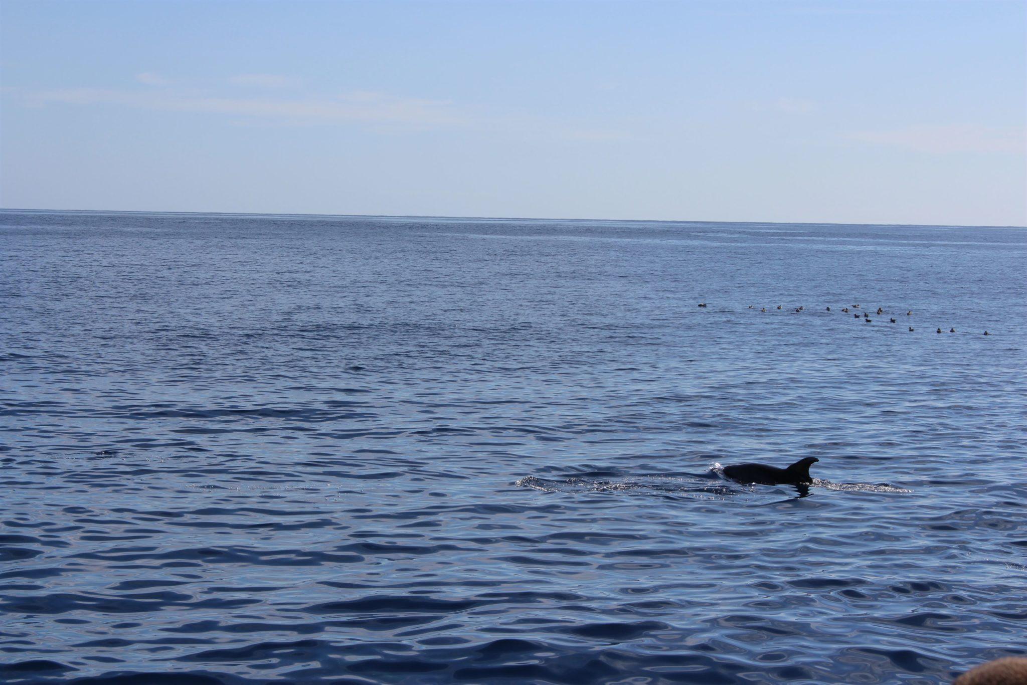 Golfinhos ao largo de S. Miguel, Açores