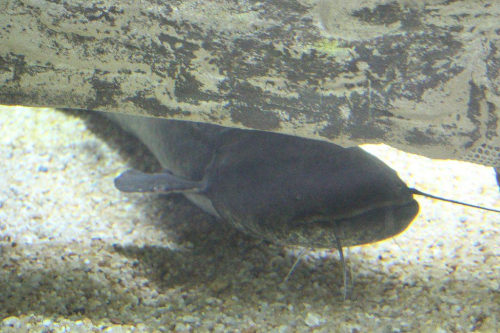 Peixe gato europeu, de origem exótica, Fluviário de Mora, Mora