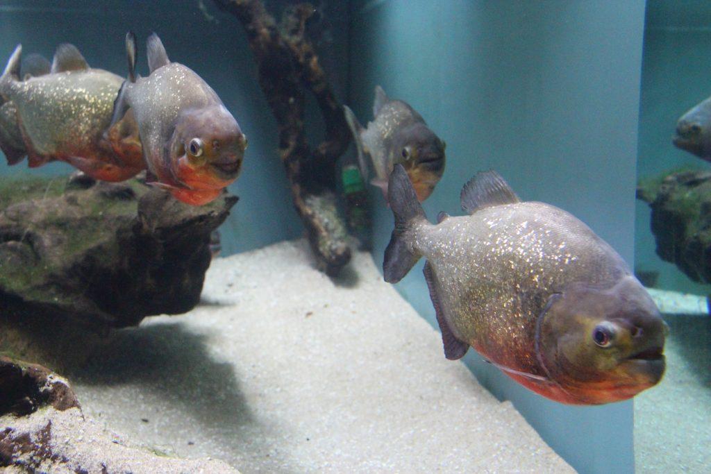 Piranha vermelha, Fluviário de Mora, Mora