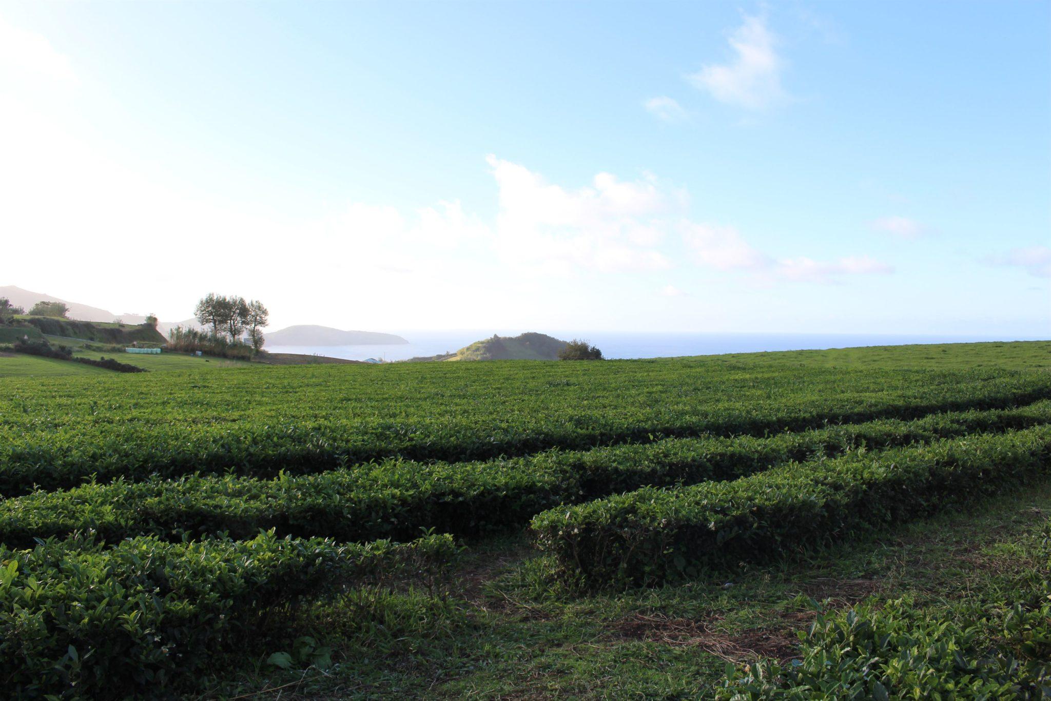 Campos de chá Gorreana, S. Miguel, Açores