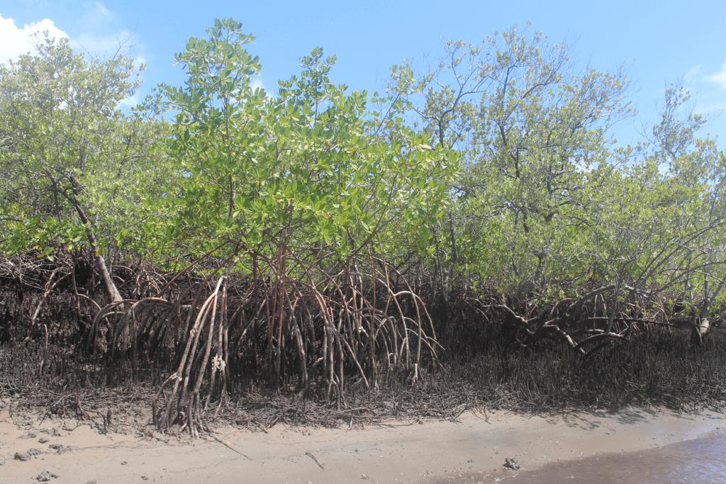"""Mangue """"gaiteiro"""", na Baía de Suape, no Cabo de Santo Agostinho"""