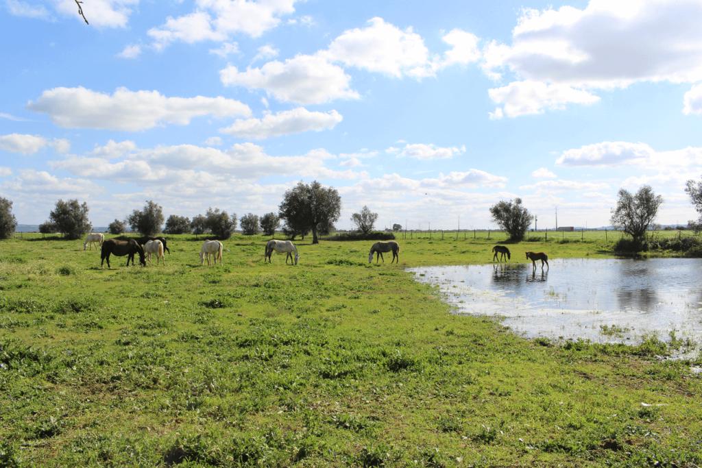 Paisagem típica do Ribatejo com cavalos