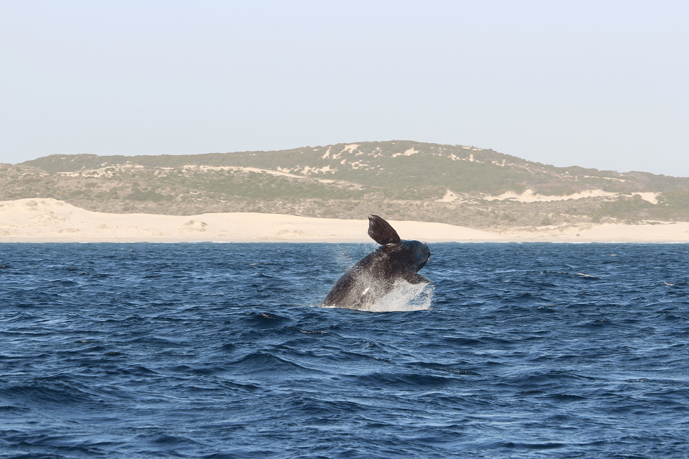 Hermanus, na Rota das Baleias da África do Sul
