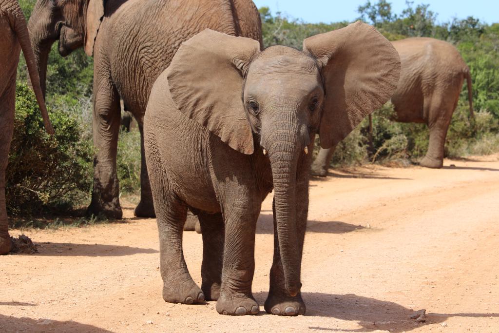 Safári sem malária na África do Sul (Addo Elephant National Park)